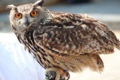 Close up owl Royalty Free Stock Image