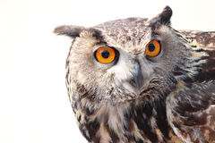Close up owl Royalty Free Stock Photography