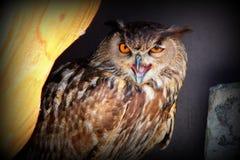Close up owl Stock Photography