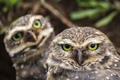 Close Up Owls looking at the camera - Athene cunicularia Stock Photography
