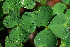 Close up oxalis petals. With dew drops Stock Photo