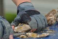 Close up of oyster being prepared Royalty Free Stock Image