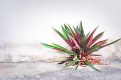 Oyster lily or white flowered tradescantia  growing in old concrete floor and wall background stock photos