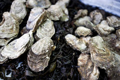 Close up of oysters Stock Photos
