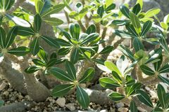 Close up of pachypodium horombense apocynaceae plant from madagascar. Africa in sun light Stock Images