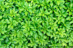Close-up of pachysandra terminalis - green nature background, te Royalty Free Stock Images