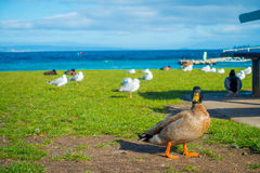 Close up of the Pacific black ducks or grey ducks at Lake Taupo, North Island of New Zealand.  Royalty Free Stock Image