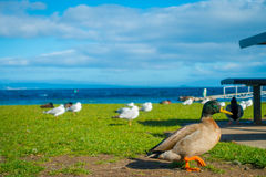 Close up of the Pacific black ducks or grey ducks at Lake Taupo, North Island of New Zealand.  Royalty Free Stock Photo