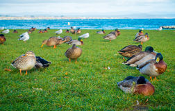 Close up of the Pacific black ducks or grey ducks at Lake Taupo, North Island of New Zealand.  Royalty Free Stock Images