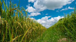 Close up paddy jasmine rice field with beautiful blue sky cloudy Royalty Free Stock Photography