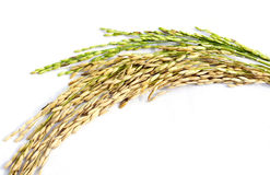 Close up of paddy rice Stock Photography