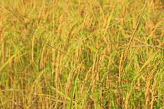 Close up of paddy rice Stock Photo