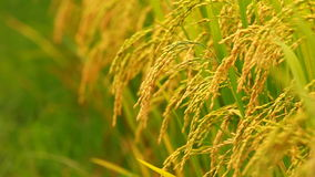 Close up paddy on stalk in field swaying by wind stock video