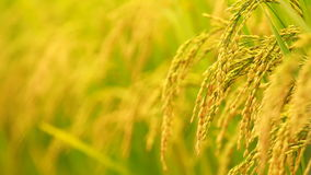 Close up paddy on stalk in field swaying by wind stock video footage