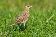 Close up of Paddyfield Pipit ( Anthus rufulus ) Royalty Free Stock Photos