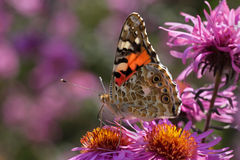 Painted Lady butterfly on flower. Close up of Painted Lady butterfly on chrysanthemum Royalty Free Stock Photos