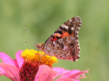 Painted Lady butterfly on flower. Close up of Painted Lady butterfly on flower (zinnia Royalty Free Stock Image