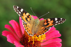 Painted Lady butterfly. Close up of Painted Lady butterfly on zinnia Royalty Free Stock Photography