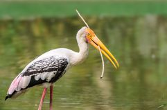 Close up of a painted stork, Mycteria leucocephala Royalty Free Stock Photography