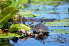 Close up of painted turtles on Point Pelee conservation area, On Royalty Free Stock Photo