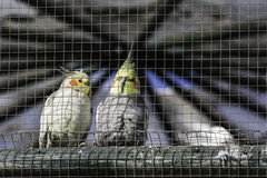 Close up pair of budgie birds in cage, outdoors Royalty Free Stock Photos