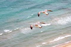 Seagulls flying over the Mediterranean sea. Royalty Free Stock Image