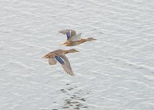 Close up of a pair of mallards. An image of a pair of mallards flying over the ocean Stock Photography