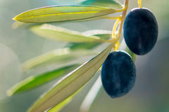 Close up of a pair of  mediterranean olives, Royalty Free Stock Images