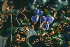 Close-up of a pair of viola alba purple flowers stock photo