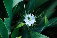 Pale blue flower of Nigella damascena royalty free stock photos
