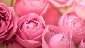 Close-up pale delicate peony roses. Selective focus, magic light royalty free stock photo
