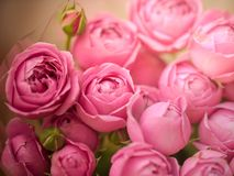 Close-up pale delicate peony roses. Selective focus, magic light royalty free stock photos