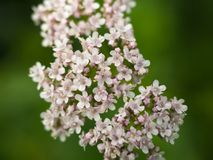 Close up of Pale pink dogwood flowers stock photography