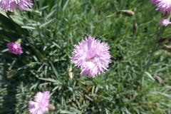 Closeup of pale pink flower of Dianthus royalty free stock images