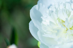 Close up of pale pink peony flower. Abstract natural background. Royalty Free Stock Photography
