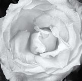 Close up of a pale single white rose on a dark background. Filling the frame Stock Image