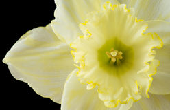 Close up pale yellow daffodil Stock Photos