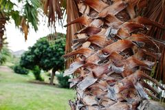 Close up of palm bark, beautiful tropical background.  royalty free stock image