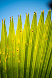 Close-Up of Palm Frond Leaf Royalty Free Stock Images