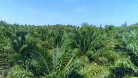 Close-up of a palm grove. Thailand.  Aerial. stock video