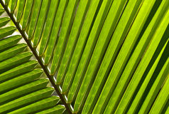 Close up of a palm leaf Royalty Free Stock Photo