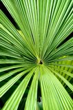 Close up of a palm leaf. Close up of centre of palm leaf Royalty Free Stock Images