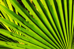 Close up of palm leaf detail.  Stock Images