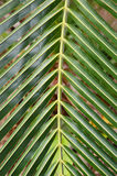 Close up of palm leaf Royalty Free Stock Photos