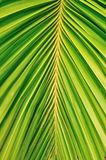 Close up of palm leave as background Royalty Free Stock Photo