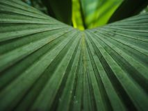 Close up palm leaves Royalty Free Stock Images