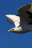 Close-up of a Palm-nut vulture in flight Royalty Free Stock Photo