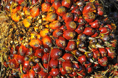 Close up of palm oil fruit bunch Royalty Free Stock Images