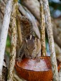 A close up of a palm squirrel in a tree Stock Image