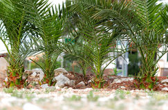 Close-up of a palm tree Royalty Free Stock Image